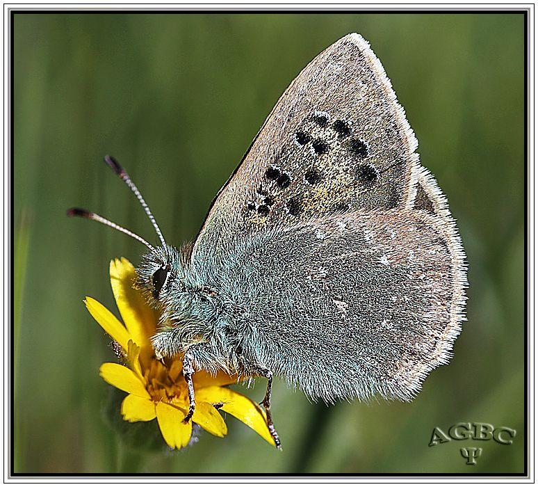 Cardenillo (Tomares ballus) y mariposa Macaón (Papilio machaon) – Fotografía Macro